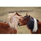 Fotografía de caballos salvajes jugando